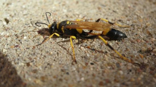 long wasp1